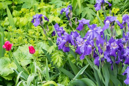 purple irises: many purple irises and two red tulips
