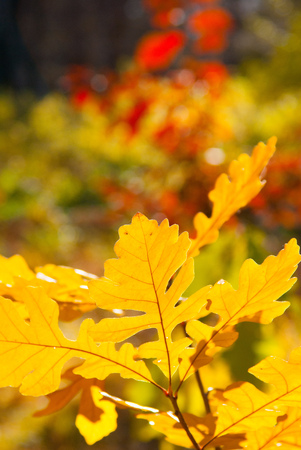 yellow oak leaves with blurred autumn background, autumn closeup shot