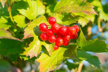 viburnum berries on bush branches in orchard