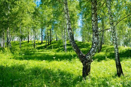 birch grove background