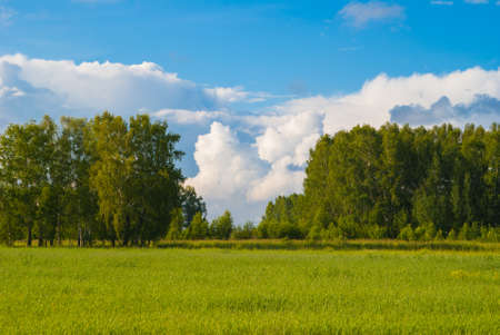 deep blue sky over birch forest and meadow