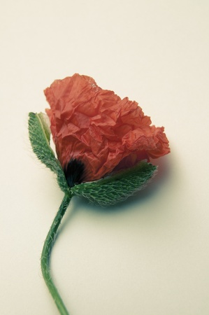 An image of poppy flower photo