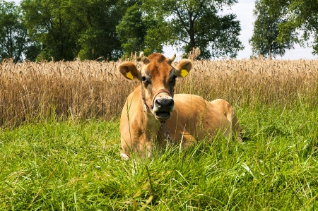 jersey cattle: Jersey cow on the meadow Stock Photo