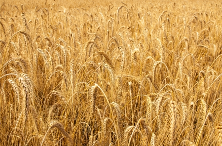 Mature wheat ready for harvest in the early summer photo