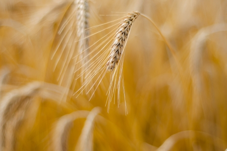 Mature wheat ready for harvest in the early summer Stock Photo - 16229669