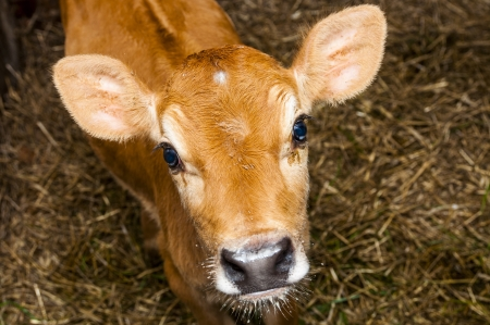 An image of young jersey cow stands in the barn Stock Photo