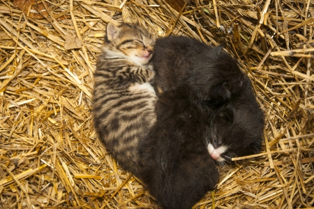 An image of young cats in the barn lying on the straw photo