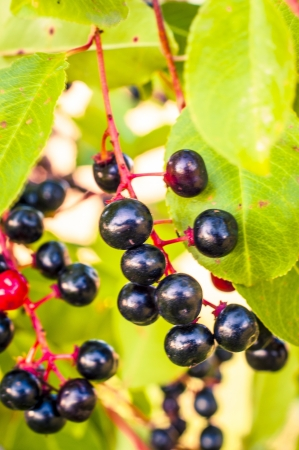 An image of aronia fruits photo