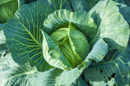 An image of cabbage ready to harvest photo