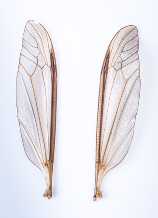 an image of mosquito wings