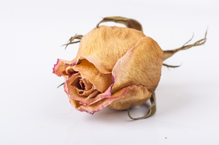 affliction: An image of drained rose flower on white Stock Photo