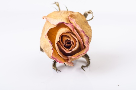 An image of drained rose flower on white photo