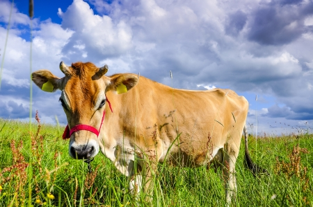 jersey: An image of pastering jersey cow