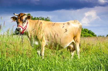 An image of pastering jersey cow photo