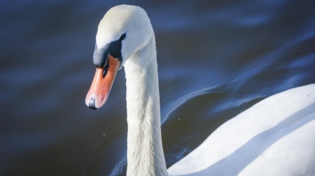 An image of Swan on the lake photo