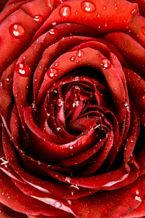 An image of red rose close up photo