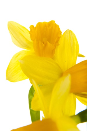 An image of yellow daffodil in pot photo