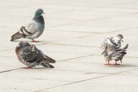 urban pigeon eating bread scattered with tourists photo