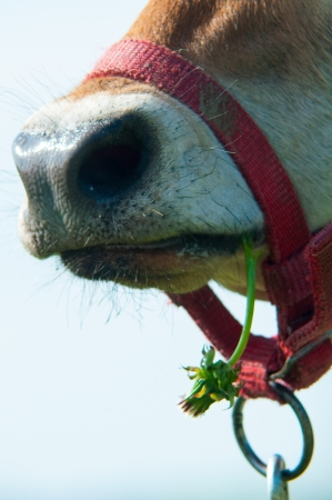 jersey cow: Jersey cow grazes in a meadow Stock Photo