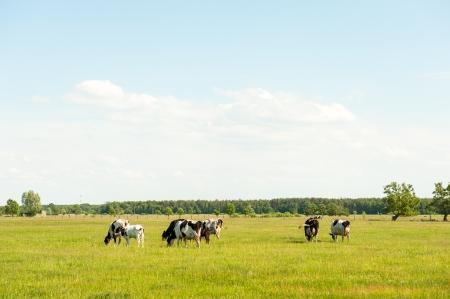 hf: calves in the meadow race hf