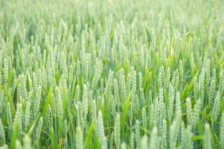 An image of Green wheat ears on the field photo