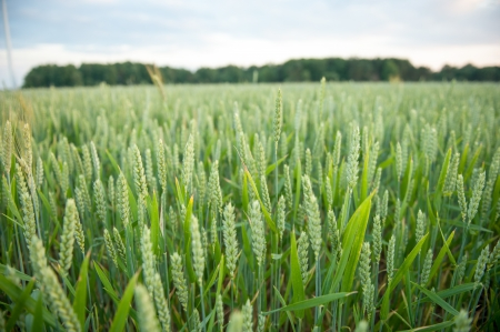 An image of Green wheat ears on the field Stock Photo - 21353795
