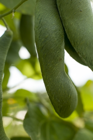 runner bean: an image of green bean leaves close-up Stock Photo