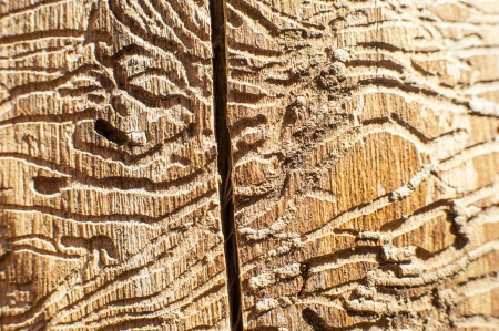 an image of corridors bark beetles in dead wood photo