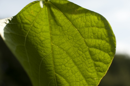 an image of green bean leaves close-up photo