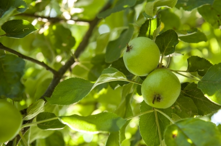 An image of Ripened green apple photo
