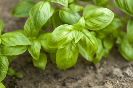 an image of basil plant