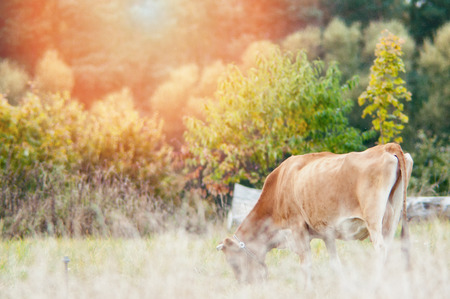 beast ranch: An image of cows graze on the green meadow