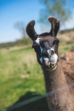 Lama animal graze in the meadow with wire fence Stock Photo