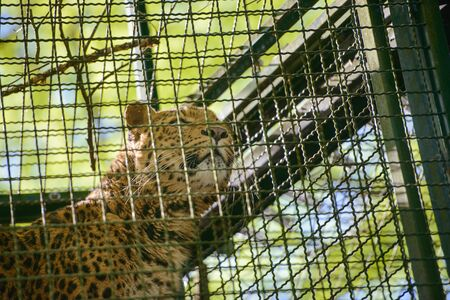 Adult agresive tiger spotted deep in the cage