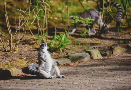 Two lemurs with tails up they go in front of each other. Spring season Reklamní fotografie