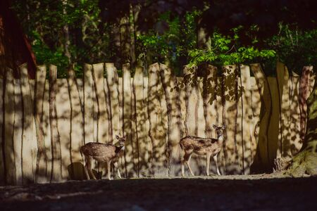 Fallow deer in the woods eating grass. Copy space.