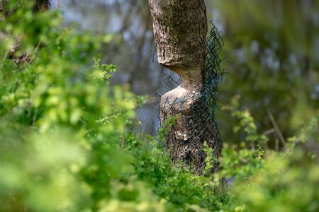 A tree bitten by a beaver that is about to fall.