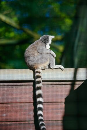 Two lemurs with tails up they go in front of each other. Spring season Stok Fotoğraf