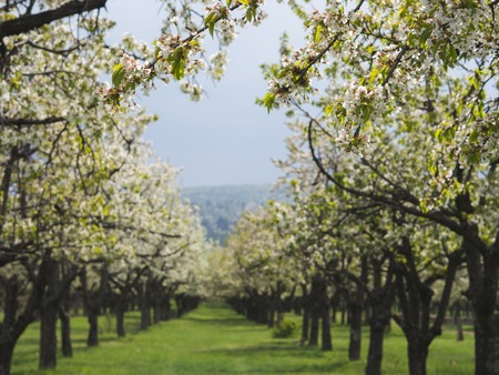 Beautiful cherry trees in rows