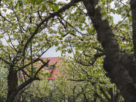 Hidden house amongst the blooming cherry trees 版權商用圖片 - 121184582