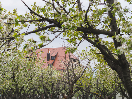 Hidden house amongst the blooming cherry trees 版權商用圖片 - 121184589