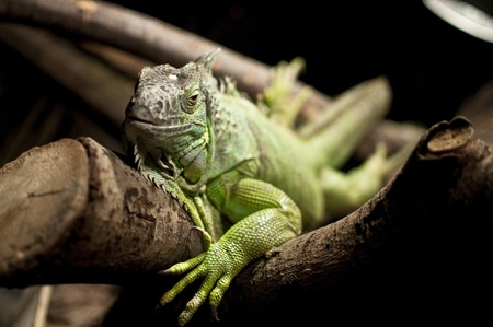 A green iguana resting on a branch