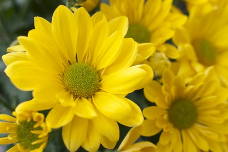 Close-up of yellow chrysanthemums