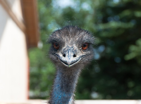 head of an ostrich looking forward
