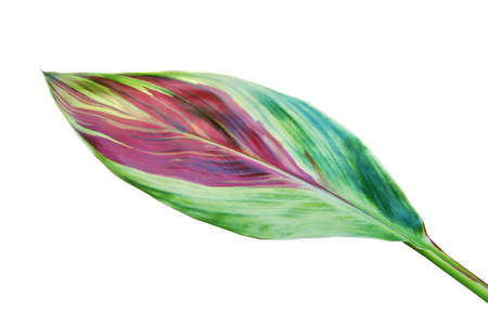 Colorful Leaf of Cordyline fruticosa (L.) A. Chev., Good Luck Plant Isolated on White Background
