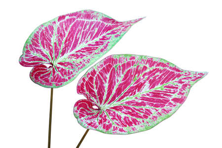 Ornamental Foliage Leaves of Caladium Plant Isolated on White Background with Clipping Path Reklamní fotografie
