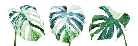 Variegated Leaves of Monstera Plant Isolated on White Background with Clipping Path