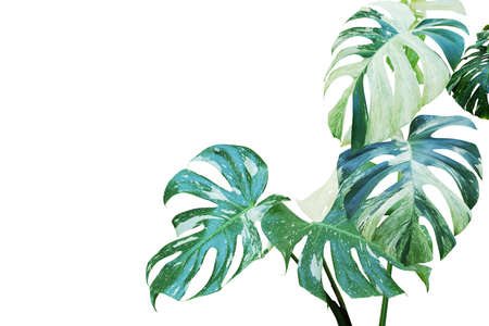 Variegated Leaves of Monstera, Split Leaf Philodendron Plant Isolated on White Background