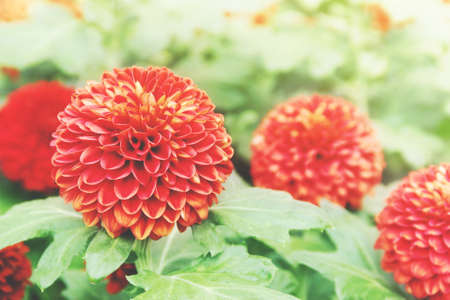 Closeup of Orange Chrysanthemum Flowers in the Garden