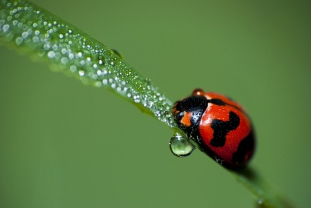 Ladybird basking in dew on an early morning. photo